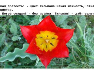 Какая прелесть! - цвет тюльпанаКакая нежность, стиль в цветке. Он Богом соз