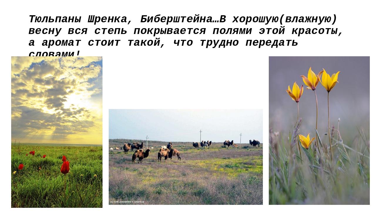Тюльпаны Шренка, Биберштейна…В хорошую(влажную) весну вся степь покрывается п...