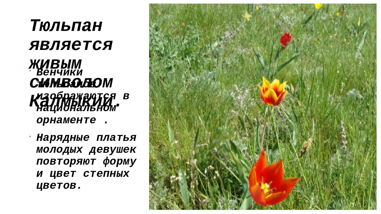 Тюльпан является живым символом Калмыкии. Венчики тюльпанов изображаются в на...