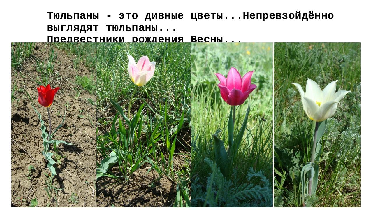 Тюльпаны - это дивные цветы...Непревзойдённо выглядят тюльпаны... Предвестник...
