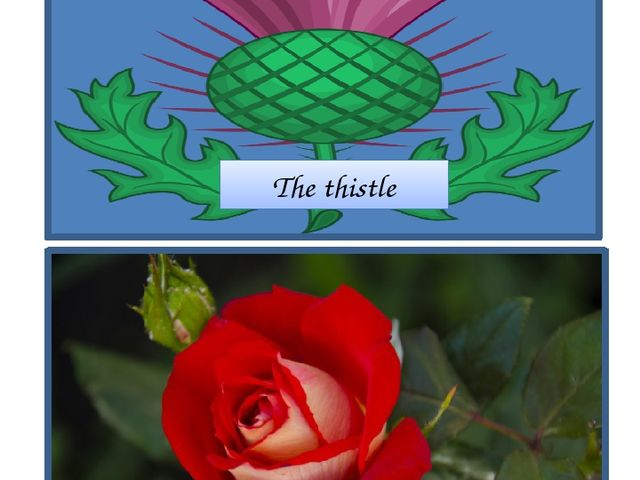 The thistle The rose