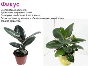 Фикус Светолюбивое растение. Достаточен умеренный полив. Подкормка необходима