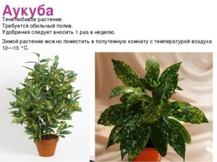 Аукуба Тенелюбивое растение. Требуется обильный полив. Удобрения следует внос