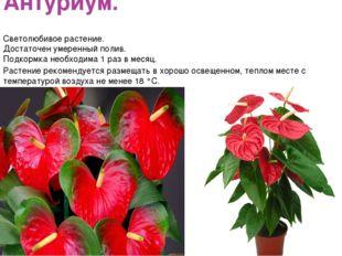 Антуриум. Светолюбивое растение. Достаточен умеренный полив. Подкормка необхо