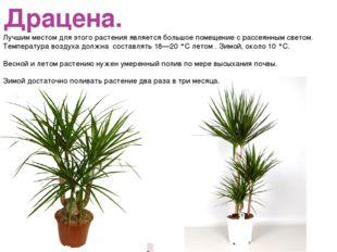 Драцена. Лучшим местом для этого растения является большое помещение с рассея