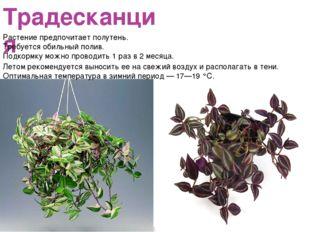 Традесканция Растение предпочитает полутень. Требуется обильный полив. Подкор