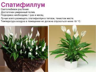 Спатифиллум Светолюбивое растение. Достаточен умеренный полив. Подкормка необ