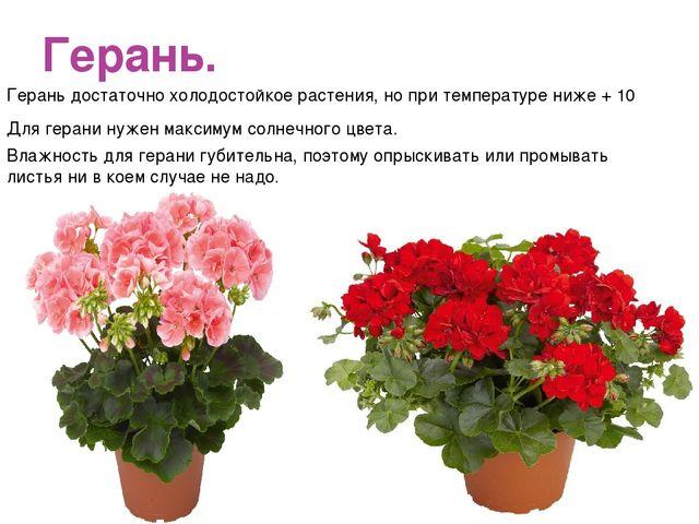 Герань. Герань достаточно холодостойкое растения, но при температуре ниже + 1...
