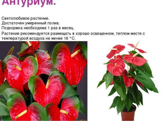 Антуриум. Светолюбивое растение. Достаточен умеренный полив. Подкормка необхо...
