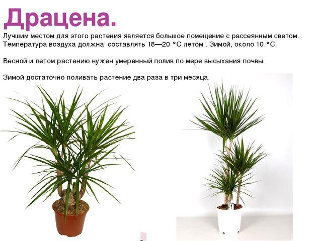Драцена. Лучшим местом для этого растения является большое помещение с рассея...