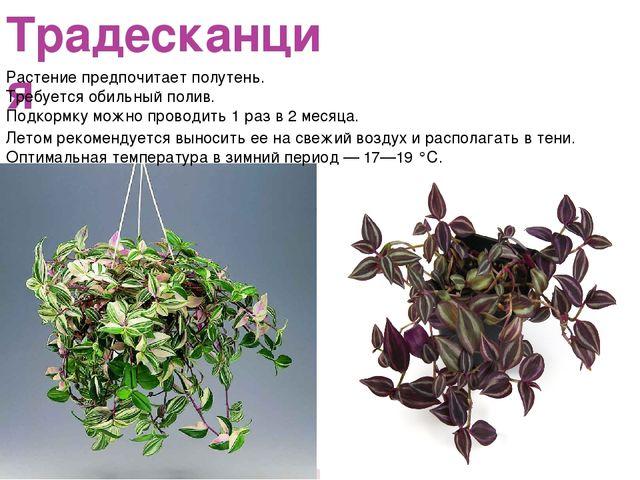 Традесканция Растение предпочитает полутень. Требуется обильный полив. Подкор...