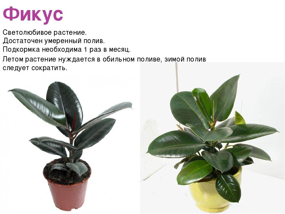 Фикус Светолюбивое растение. Достаточен умеренный полив. Подкормка необходима...