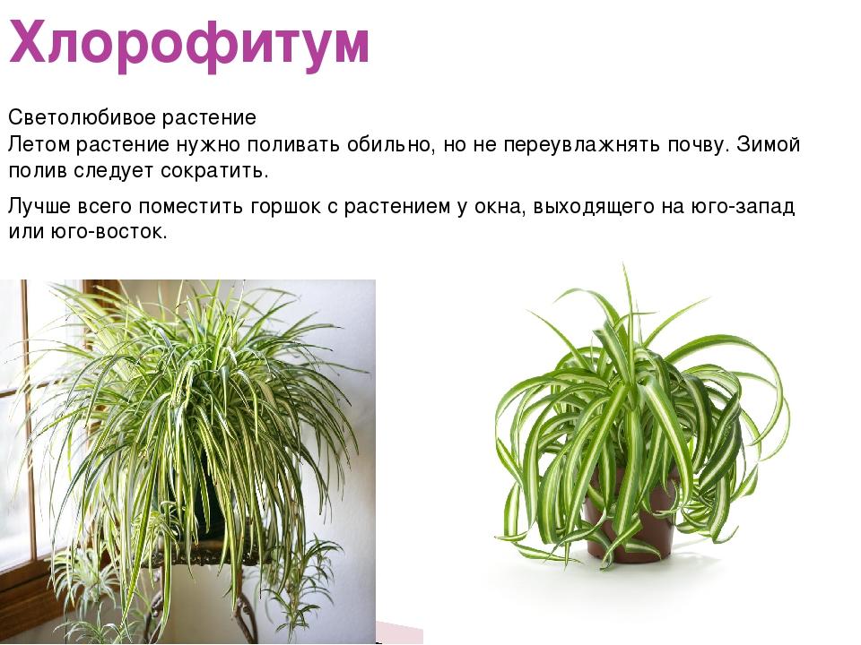 Хлорофитум Летом растение нужно поливать обильно, но не переувлажнять почву....