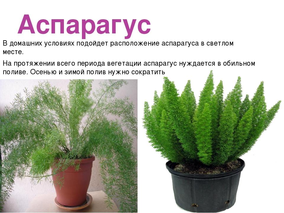 Аспарагус В домашних условиях подойдет расположение аспарагуса в светлом мест...