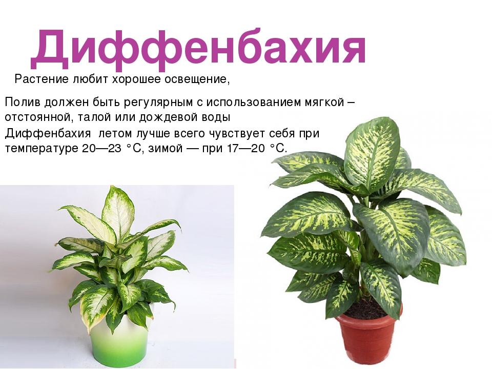 Диффенбахия Растение любит хорошее освещение, Полив должен быть регулярным с...
