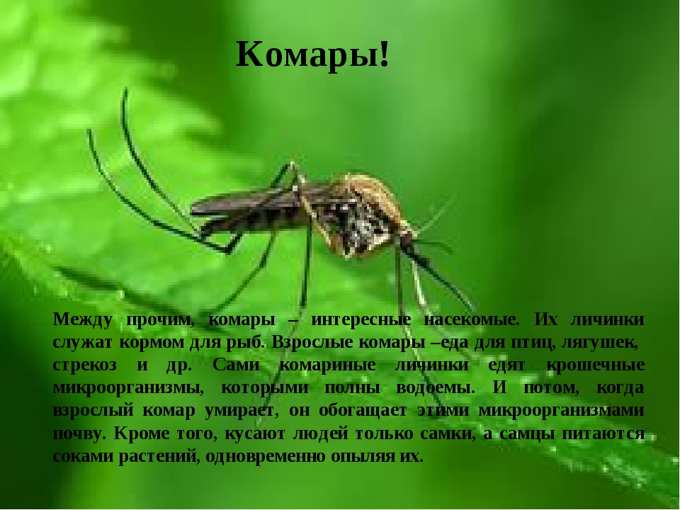 Комары! Между прочим, комары – интересные насекомые. Их личинки служат кормом...