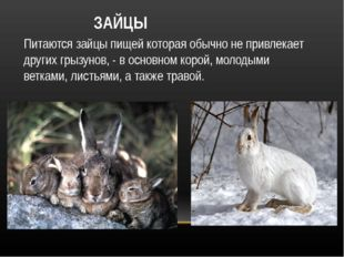 ЗАЙЦЫ Питаются зайцы пищей которая обычно не привлекает других грызунов, - в