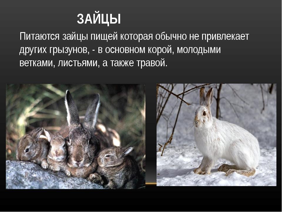 ЗАЙЦЫ Питаются зайцы пищей которая обычно не привлекает других грызунов, - в...