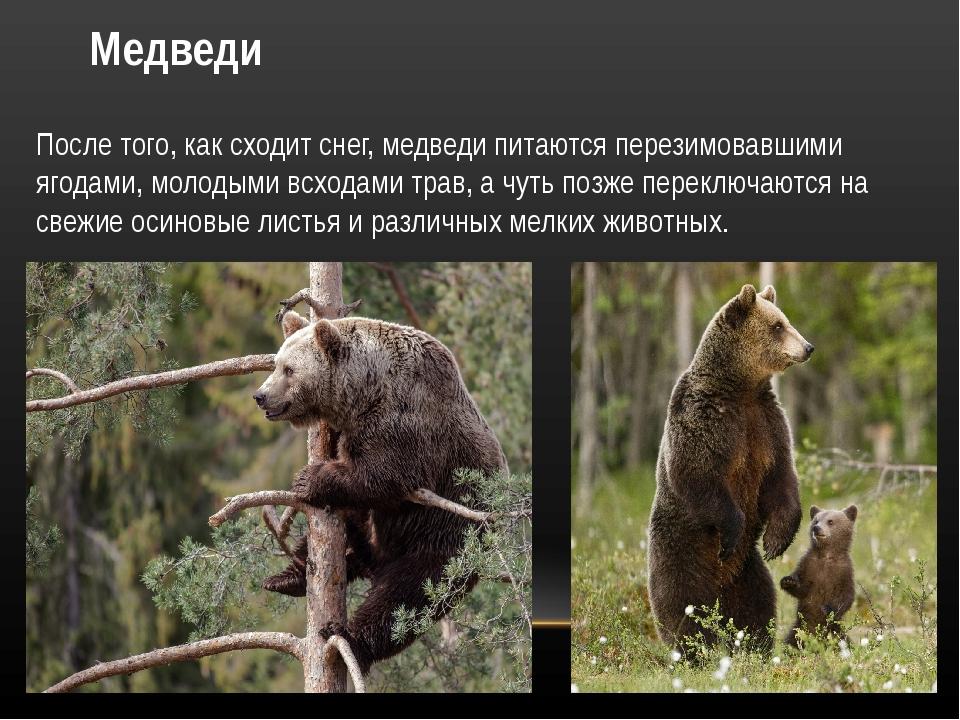 Медведи После того, как сходит снег, медведи питаются перезимовавшими ягодами...