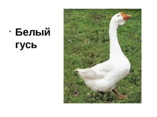 Белый гусь