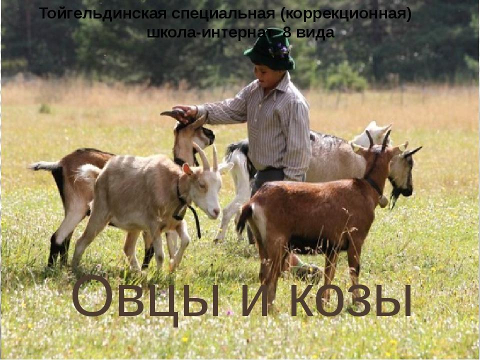 Овцы и козы Тойгельдинская специальная (коррекционная) школа-интернат 8 вида