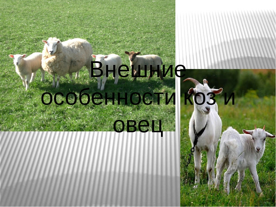 Внешние особенности коз и овец