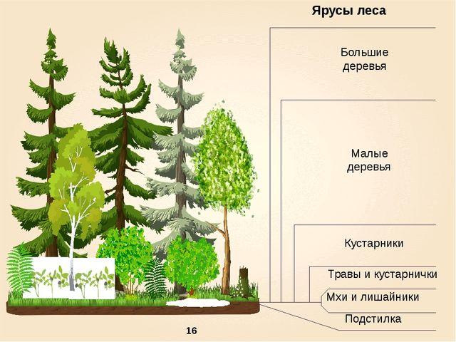 Ярусы леса Большие деревья Мхи и лишайники Малые деревья Кустарники Травы и...