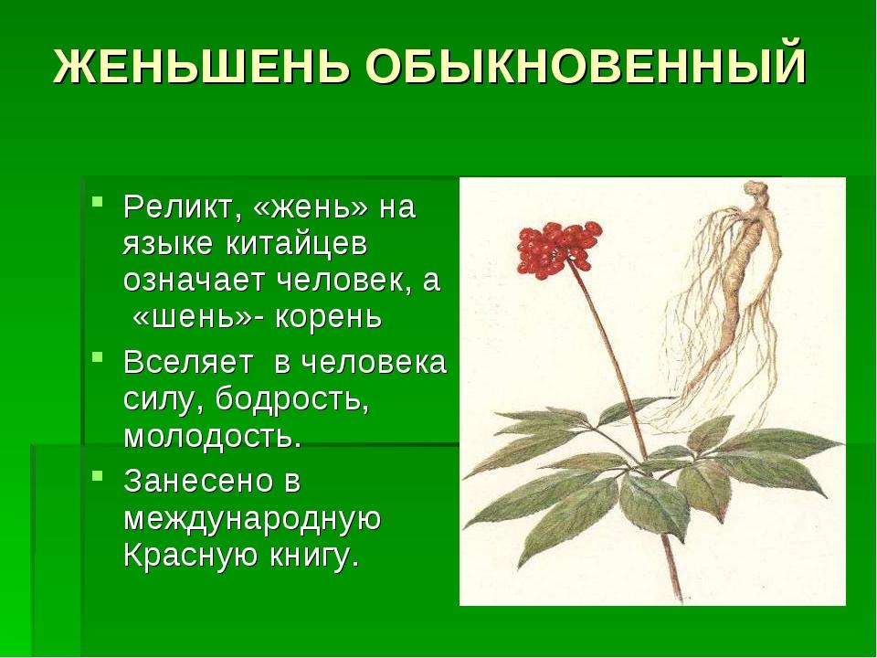 растение женьшень кратко для шпаргалки