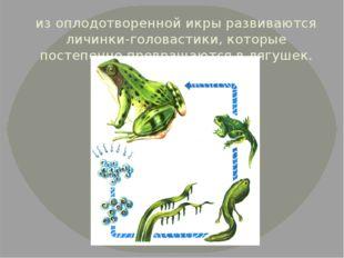 из оплодотворенной икры развиваются личинки-головастики, которые постепенно п