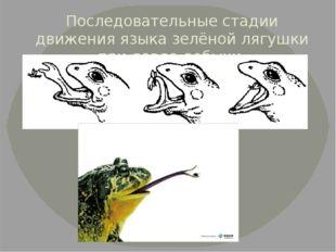 Последовательные стадии движения языка зелёной лягушки при ловле добычи.