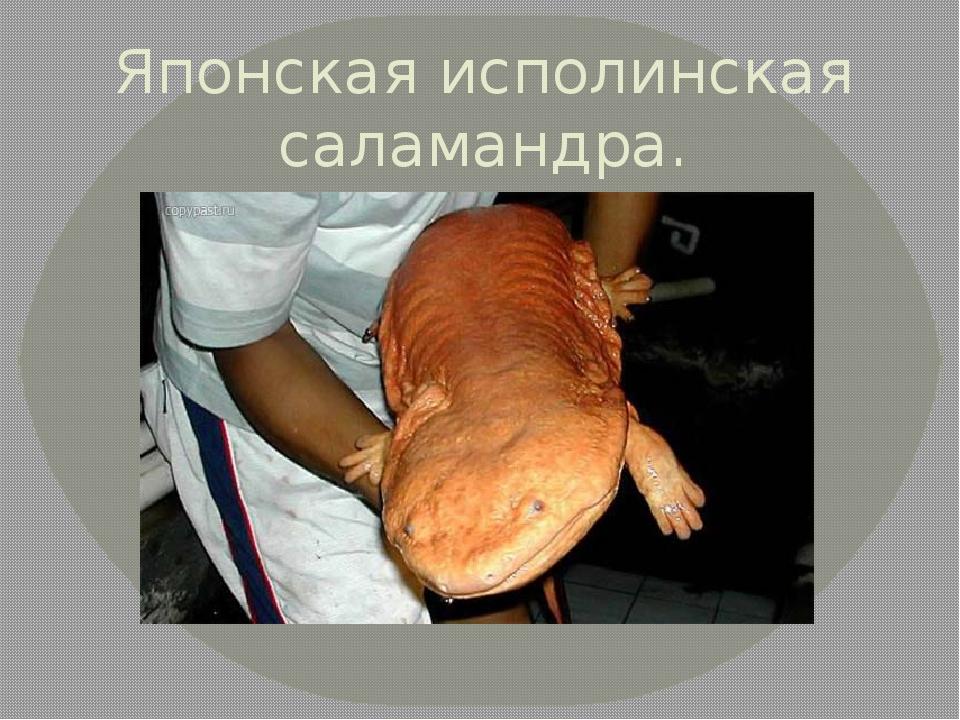 Японская исполинская саламандра.