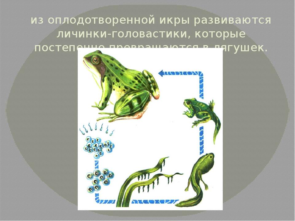 из оплодотворенной икры развиваются личинки-головастики, которые постепенно п...