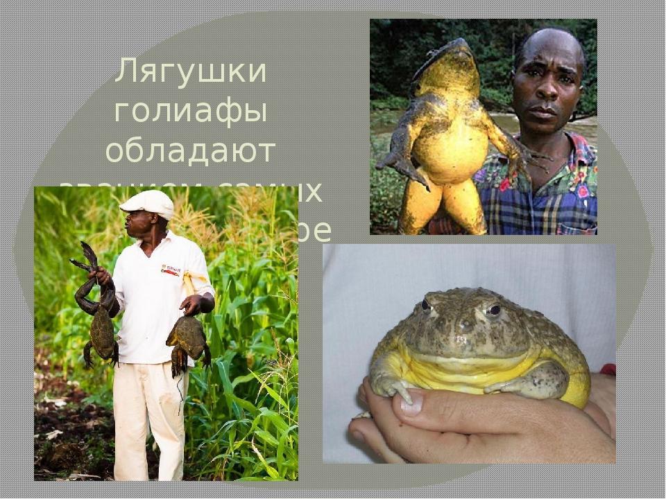 Лягушки голиафы обладают званием самых больших в мире