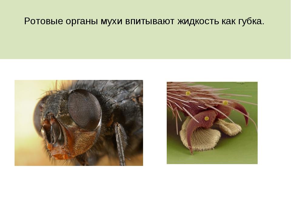 Ротовые органы мухи впитывают жидкость как губка.