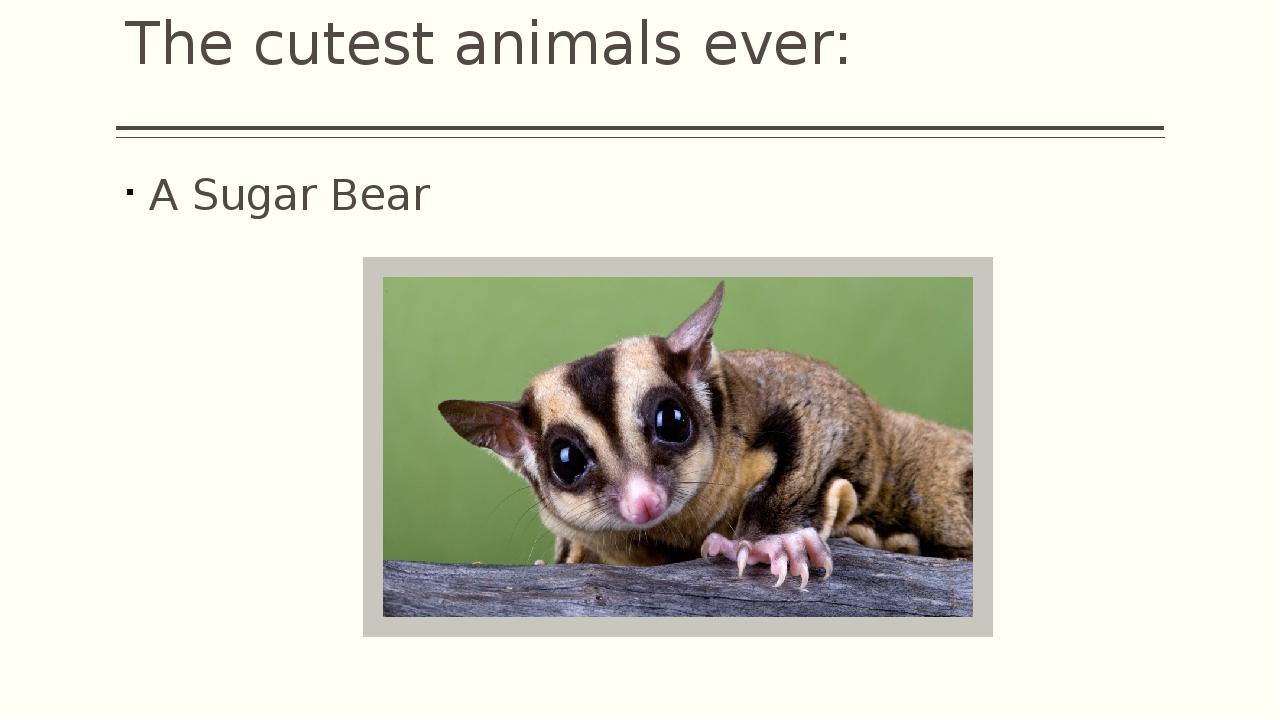 The cutest animals ever: A Sugar Bear