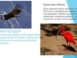 АНДСКИЙ КОНДОР Это самая большая хищная птица мира имеет размах крыльев более