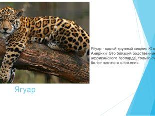 Ягуар Ягуар - самый крупныйхищник Южной Америки. Это близкий родственник афр