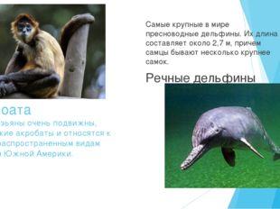 Коата Эти обезьяны очень подвижны, они ловкие акробаты и относятся к самым р