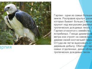 Гарпия Гарпии - одни из самых больших птиц на земле. Расправив крылья, размах