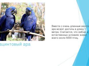 Гиацинтовый ара Вместе с очень длинным хвостом ара может достичь в длину 1 ме