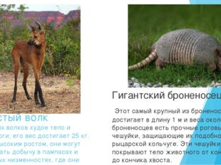 Гривистый волк У гривистых волков худое тело и длинные ноги, его вес достигае