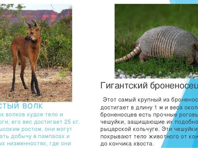 Гривистый волк У гривистых волков худое тело и длинные ноги, его вес достигае...