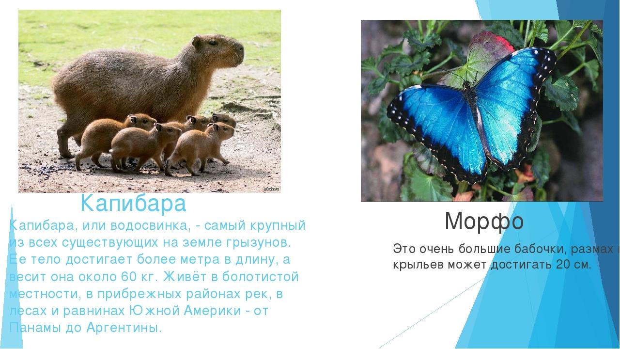 Капибара Капибара, или водосвинка, - самый крупный из всех существующих на з...