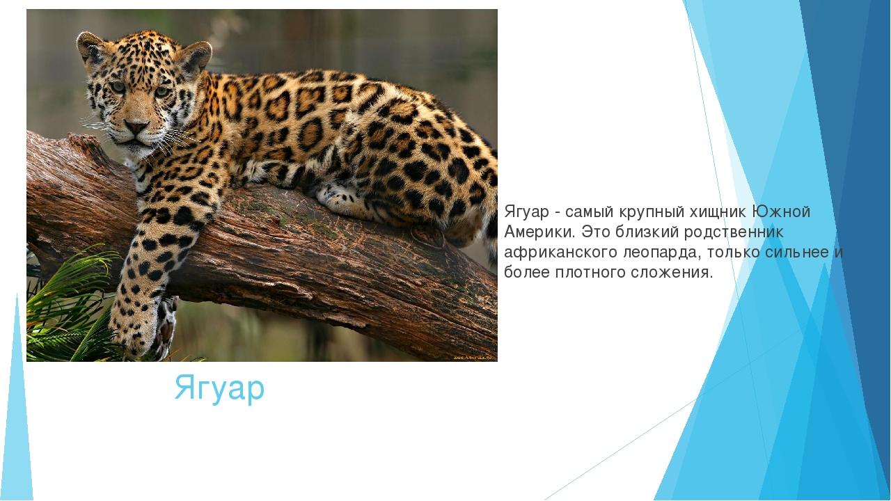 Ягуар Ягуар - самый крупныйхищник Южной Америки. Это близкий родственник афр...