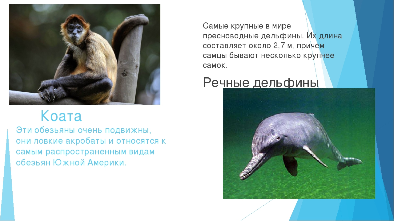 Коата Эти обезьяны очень подвижны, они ловкие акробаты и относятся к самым р...