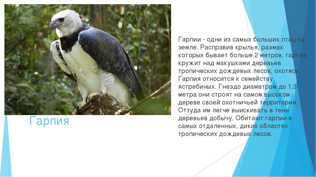 Гарпия Гарпии - одни из самых больших птиц на земле. Расправив крылья, размах...