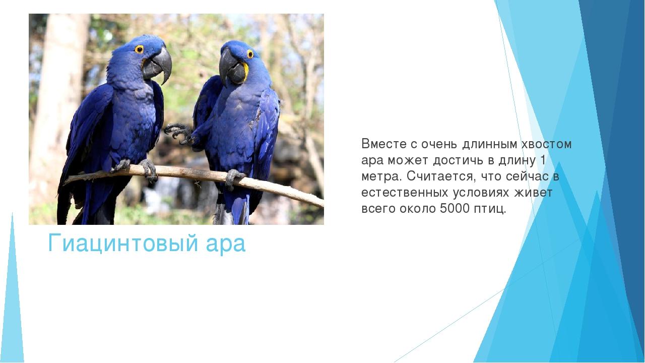 Гиацинтовый ара Вместе с очень длинным хвостом ара может достичь в длину 1 ме...
