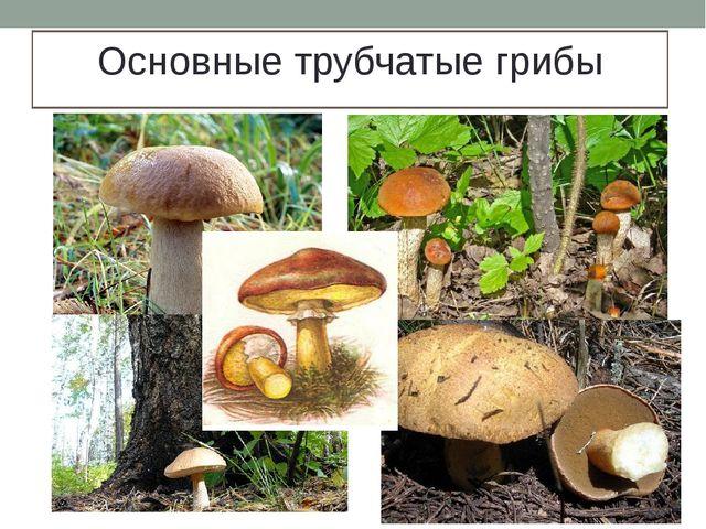 Основные трубчатые грибы