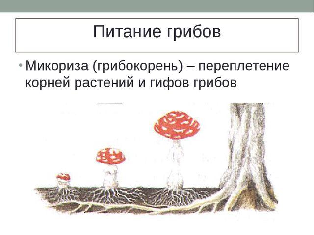 Питание грибов Микориза (грибокорень) – переплетение корней растений и гифов...