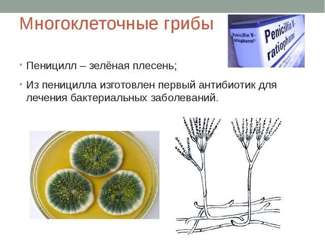 Многоклеточные грибы Пеницилл – зелёная плесень; Из пеницилла изготовлен перв...